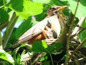 Olivia Newport photo of baby robins by Lorri Nussbaum