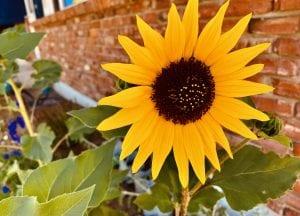 Olivia Newport Sunflower